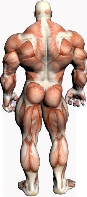 Muscle anatomy back